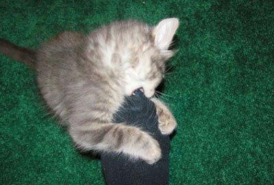Почему кот бросается на ноги и кусается — почему кошка кусает за нос?
